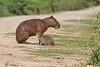 Capybara with nursing young on the Transpantaneira Highway. May 5, 2014.