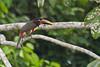 Chestnut-eared Aracari along the Cuiabá River. May 7, 2014.