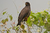 Snail Kite - this is the same species that is endangered in Florida but very common here. May 6, 2014.