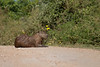 Capybara and Cattle Tyrant on the Transpantaneira Highway. Cattle Tyrants follow many animals eating the bugs that are kicked up from the ground. May 5, 2014.