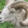 Dall's Sheep
