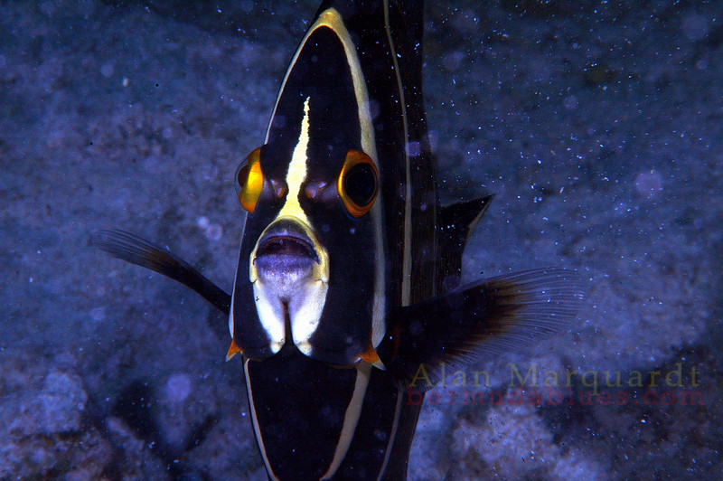 Juvenile French Angelfish, Cayman Brac