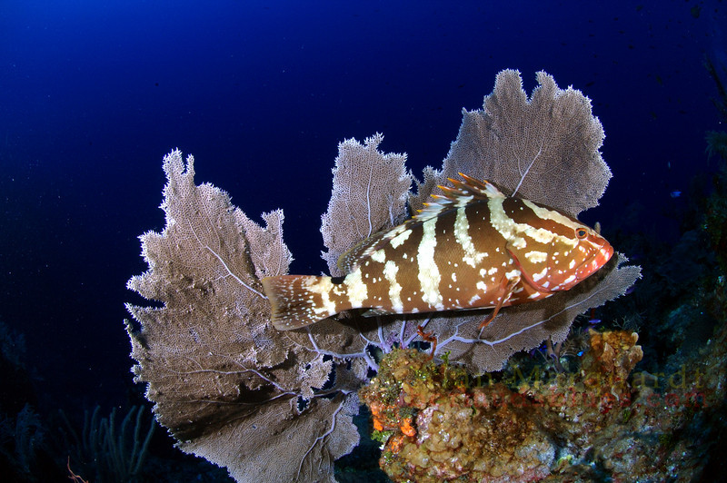 Nassau Grouper and a Sea Fan, Cayman Brac