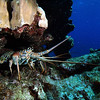 Lobster in the coral Cayman Brac.