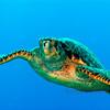 Hawksbill Turtle, Cayman Brac.