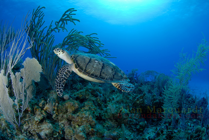 Hawksbill Turtle hovers above the reef, Cayman Brac.