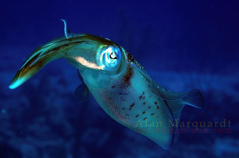 Reef Squid, Cayman Brac