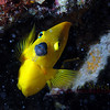 Rock Beauty Angelfish, cayman Brac.