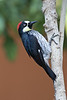 Acorn Woodpecker (Melanerpes formicivorus) was near the hummingbird feeders too. Thisis the same species we have in California.<br /> <br /> <br />  Around Savegre Mountain Lodge, Costa Rica, Mar 21, 2016.