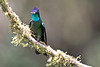 A male Magnificent Hummingbird (Eugenes fulgens).<br /> <br /> At the bird feeders at Paraiso Quetzal Lodge near San Jose, Costa Rica, Mar 20, 2016.