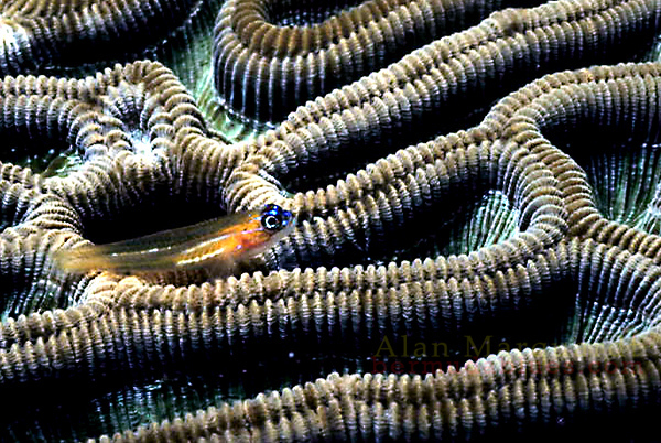 A small Goby sits on top of  a Brain coal. Cozumel, Mexico.
