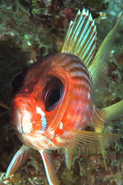 Squirl fish, Grand Cayman.