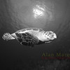 Hawksbill turtle, Grand Cayman.