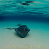 Southren Sting Ray, Sand Bar, Grand Cayman