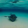 Southren Sting Ray, Sand Bar, Grand Cayman