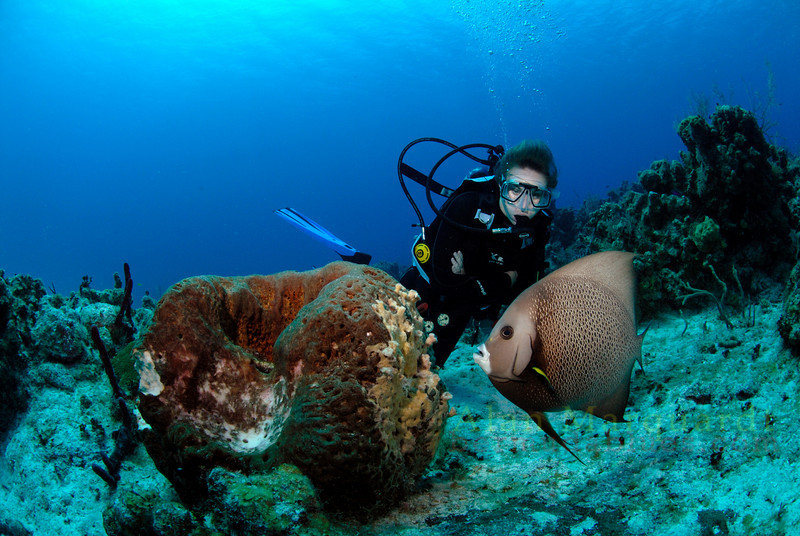 A Grey angel fish eats away at a large Barrel sponge as a diver watches, Grand Cayman.