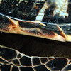 The fin and shell of  a Hawksbill Turtle with small cleaner shrimp in them, Grand Cayman.