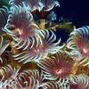 Feather Duster worms, Grand Cayman.