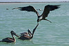 Magnificent Frigatebirds and Brown Pelicans off Holbox Island, Yucatan, Mexico. <br /> July 16, 2011.