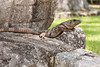 One of many Black Iguanas living at the Chichen Itza Mayan ruins - a perfect place if you are an iguana. July 13, 2011.