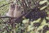 Immature Dusky Eagle-owls still in the nest. Keoladeo National Park, Baratpur, India. March 12, 2013.