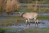 Bluebull Antelope at Keoladeo National Park, Baratpur, India. March 12, 2013.
