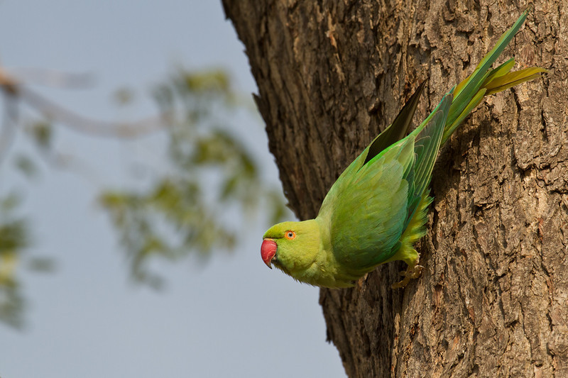 Rose-ringed Parakeet (female, so there is no rose or ring!) on the drive from Delhi to Bharatpur, India. March 11, 2013.