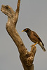 Common Myna on the drive from Delhi to Bharatpur, India. March 11, 2013.