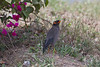 Bank Myna on the drive from Delhi to Bharatpur, India. March 11, 2013.