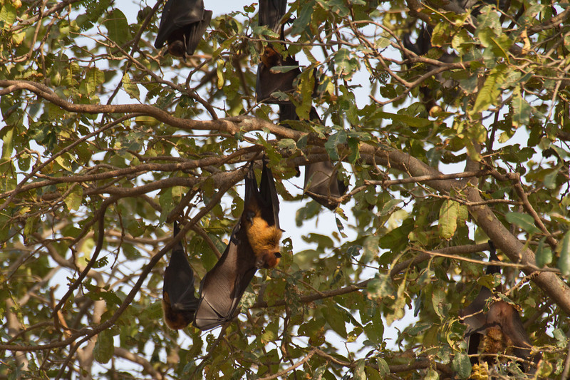 Fruit-eating Bats on the drive from Delhi to Bharatpur, India. March 11, 2013.