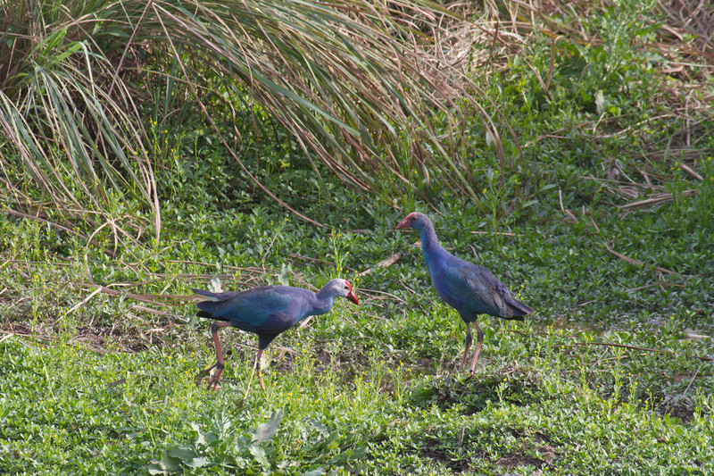 Purple Swamphens on the drive from Delhi to Bharatpur, India. March 11, 2013.