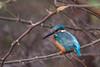 Common Kingfisher at Keoladeo National Park, Baratpur, India. March 12, 2013.