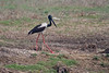 Black-necked Stork on the drive from Delhi to Bharatpur, India. March 11, 2013.