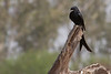 Black Drongo on the drive from Delhi to Bharatpur, India. March 11, 2013.