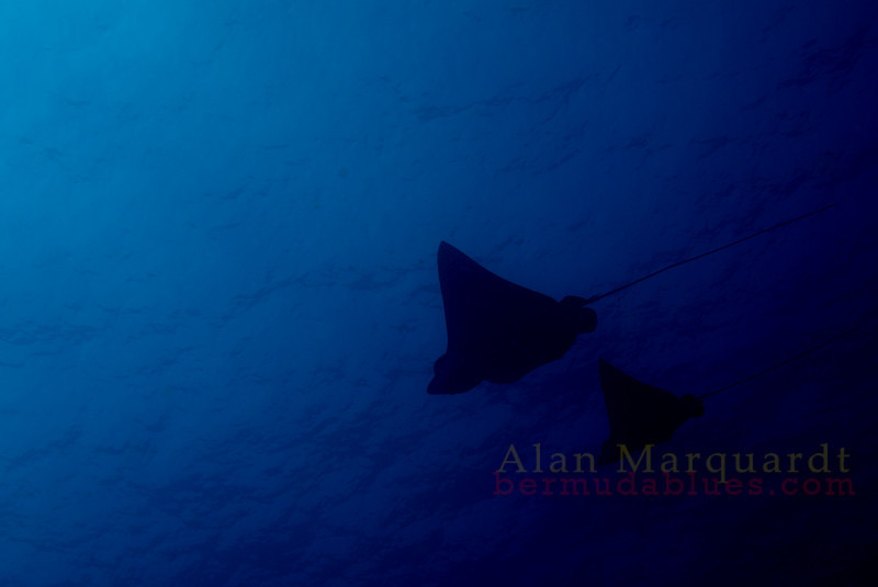 Eagle Rays, Kona Hawaii. 2008
