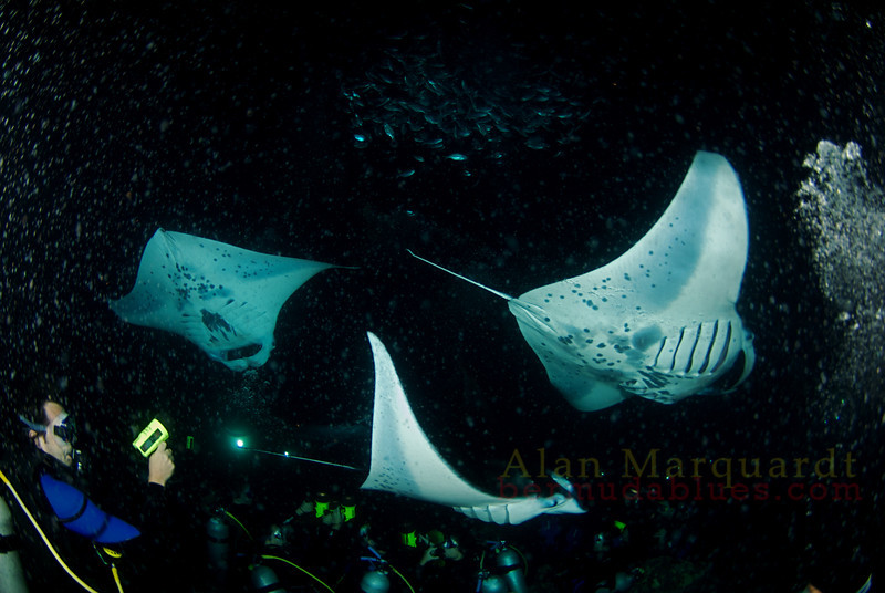 Manta night dive, Kona Hawaii.2008