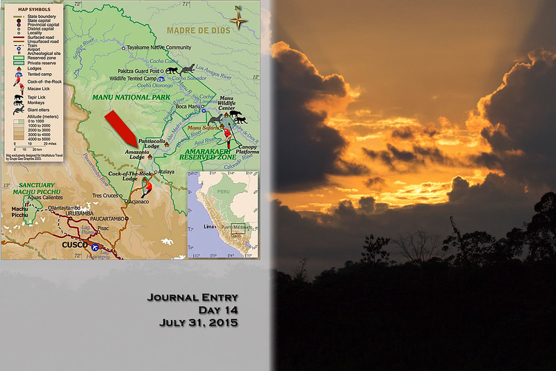 Manu National Park, Amazonia Rainforest Lodge<br /> Day 14<br /> July 31, 2015<br /> <br /> It was an early morning today – breakfast at 5 AM and then leaving at 5:30. We gathered all our day gear and walked through the lodge grounds to the river then boarded the same boats that dropped us off yesterday – they will stay with us for a few days. We retraced our route back up the Alto Madre del Dios River for about a half-hour, past the same roiling shallow water. As we boated the sunrise painted the sky a beautiful orange and red. We soon found our destination – a macaw clay lick high on the side of a cliff on the opposite side of the river. There were already many people hunkered on benches under the palms at the viewing area watching the Blue-headed, Chestnut-fronted, and Yellow-crowned and other macaws and parrots so we opted for standing nearby. The clay lick was quite far – about 150 yards, but we got a decent look at the birds with the scope. The macaws come here to eat clay to get calcium and other minerals that are not supplied by their diet of palm nuts and fruits. After about a half-hour of watching the macaw flocks noisily coming and going we left in the boat again.<br /> <br /> Heading back downriver, we stopped along the bank and all piled out again. We walked through the rocky-bottomed forest – you could tell that at one time the river meandered here washing away the topsoil and exposing the cobbles. First we walked through another very tall bamboo forest with shoots about twenty-feet tall. Then we continued through a forest full of interesting things to look at. It was now 8 AM and hot and muggy. After about 45 minutes we arrived at a small oxbow lake. The river travels a very small gradient in these parts and as the river swells during the high water season it changes course to find the path of least resistance. Oxbow lakes are formed as the water recedes and some of the curves are isolated from the main river trapping the water into a lake. This is a very common occurrence throughout the Amazon Basin. Our group spread out between four home-made balsa wood rafts with log benches. Steve, Doug, and I tried to board several rafts but each one we tried didn't support us, sinking enough so water poured up between the logs not giving us a dry footing. Always enterprising, Satu tied two rafts together with his shoelace and an old piece of wire to make a double-wide raft. It was quite comical, but successful! Each raft was propelled via pole held by a navigator/pole-man. We found many Hoatzin, a chicken-sized bird in a very nice color scheme of various browns with a rust crown and blue eye-ring, making it one of my favorites. They were roosting in a tight row, like they prefer, on railings set out for that purpose. We also found Horned Screamers high in the top of a tree that treated us to their loud call. After our lagoon tour, we retraced our track out of the forest back to the river, and boated back to the lodge, arriving about 11:30 AM.<br /> <br /> We ate lunch at noon and had the afternoon off to do as we pleased. It was nice to have some time to relax and catch up on chores. Steve and I managed a nap – the bed was very uncomfortable and I slept terrible the night before. Afterwards, we ate dinner and packed up our luggage.