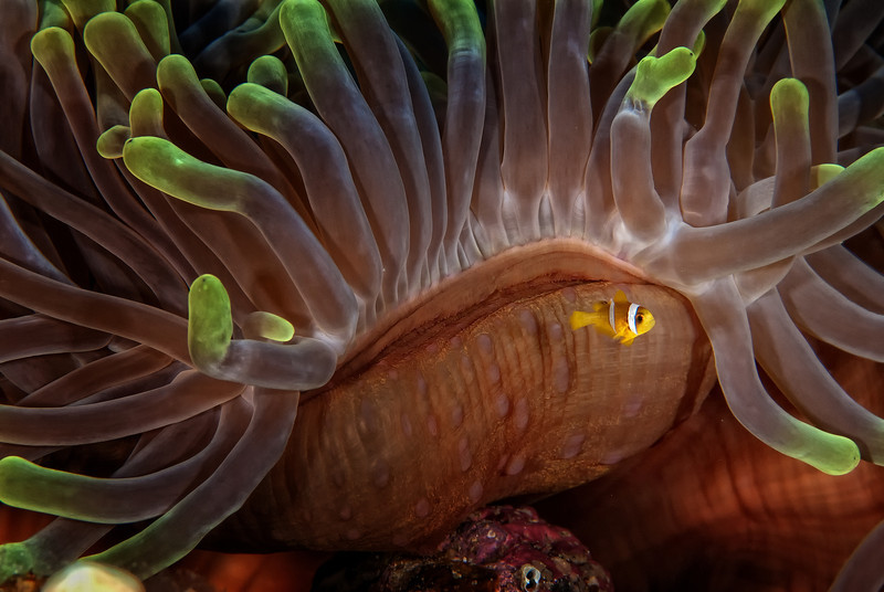 Little Nemo, anemones garden, Ras Ghozlani, northern Red Sea, Egypt. 2012