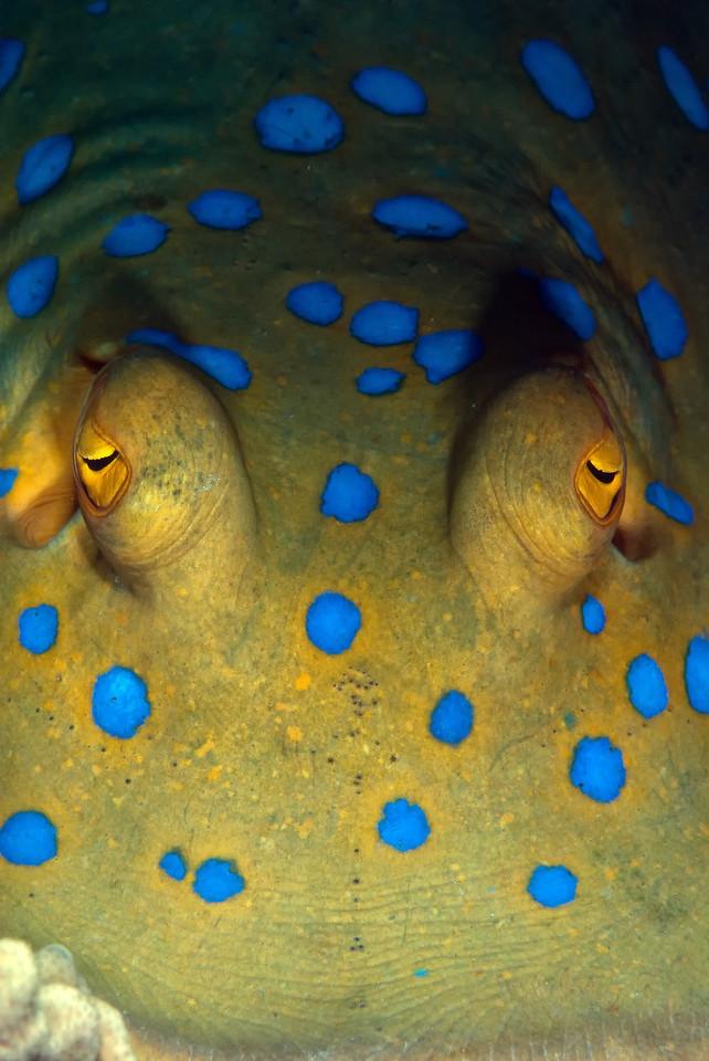 The face of a blue Spotted Ray. Ulysses wreck, northern Red Sea, Egypt. 2012