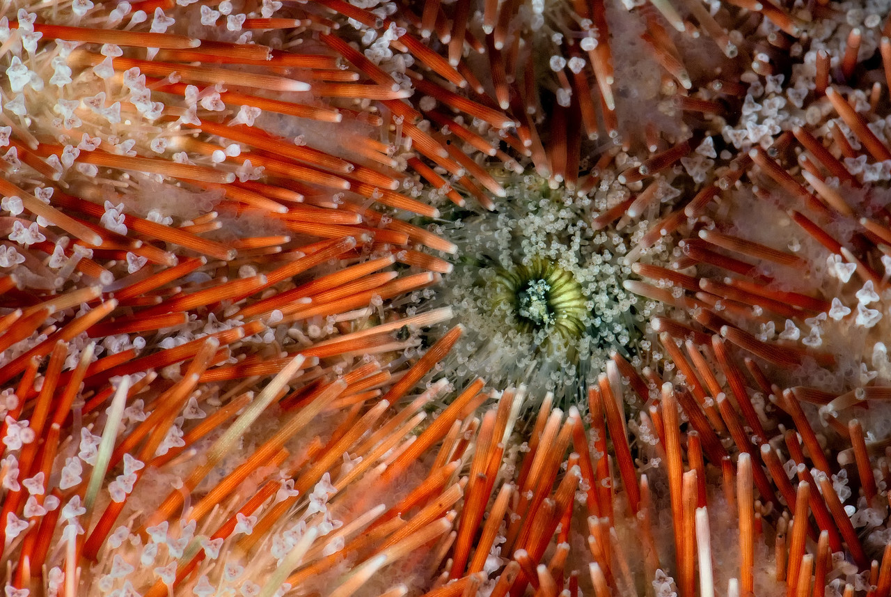 The underside of a Sea urchins. It's mouth. The Barge, northern Red Sea, Egypt. 2012