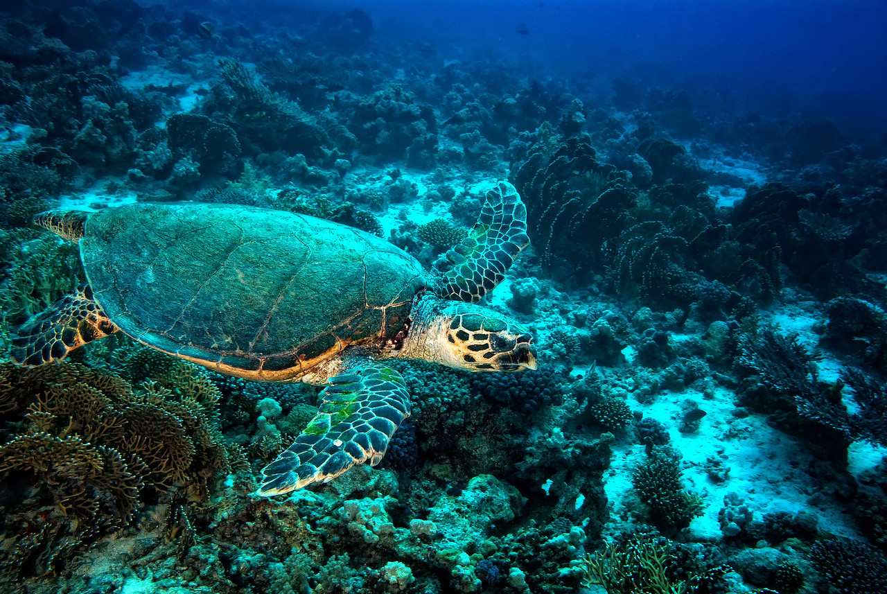Turtle, Bluff Point, northern Red Sea, Egypt. 2012