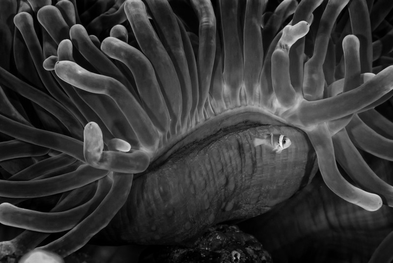 Black and white of  Little Nemo, anemones garden, Ras Ghozlani, northern Red Sea, Egypt. 2012