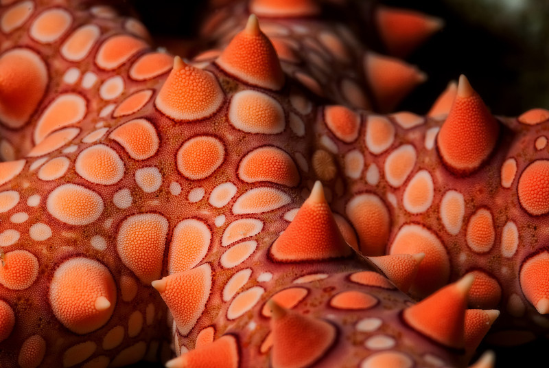 A starfish, Gomophia egyptiaca. Each arm, of which it had 4 1/2, were 8 inches long. The Barge, northern Red Sea, Egypt. 2012
