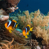 Pair of anemonefish, at the Barge, northern Red Sea, Egypt. 2012
