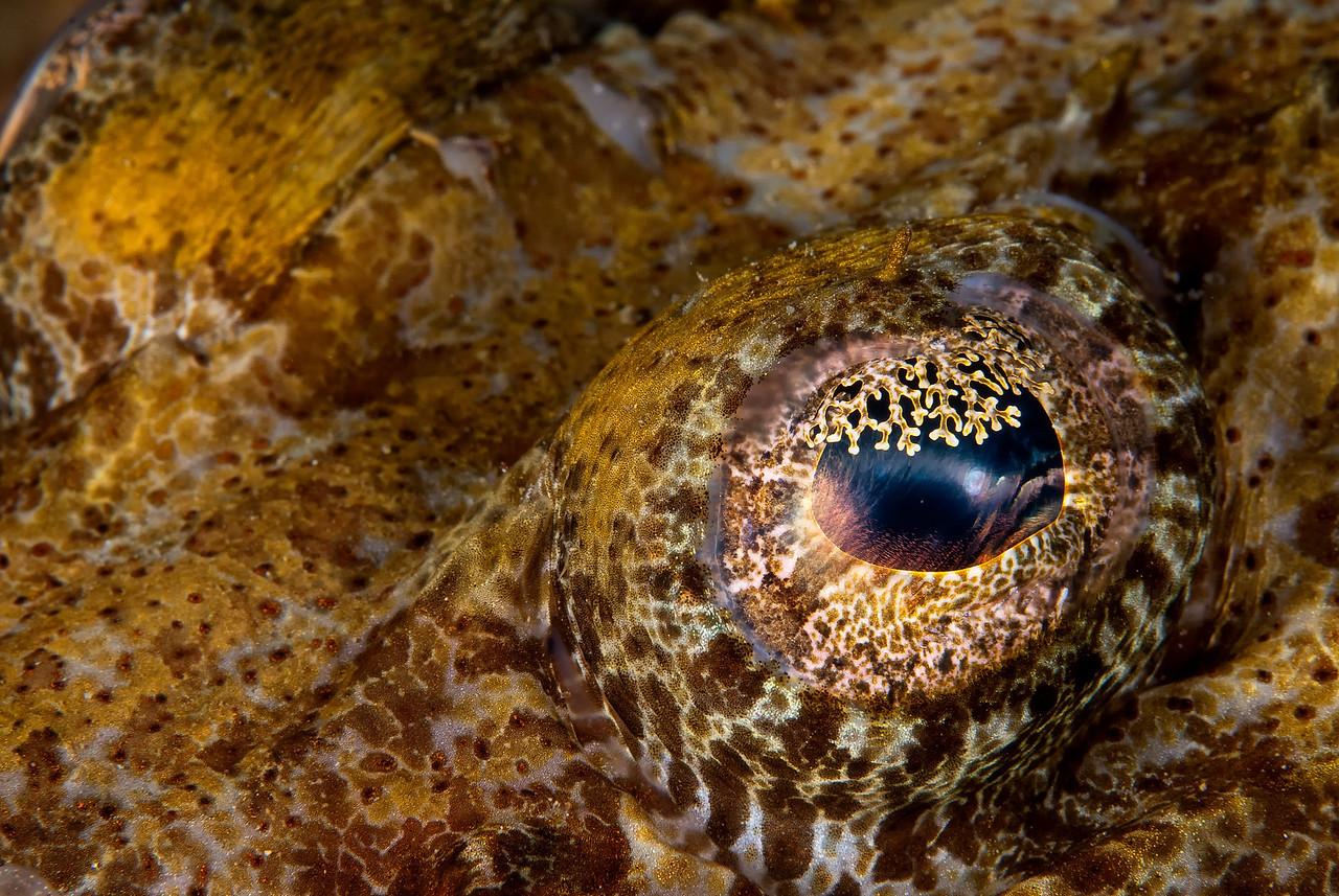 Crocodilefish eye, the wreck of the Ulysses, northern Red Sea, Egypt