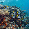 Lined Butterflyfish, at Bluff Point, northern Red Sea, Egypt. 2012