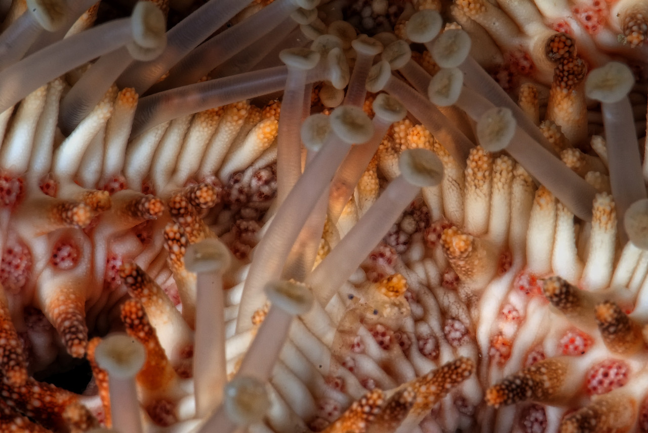 Small shrip on the underside of a starfish. The barge, near Bluff Point, Northern Red Sea, Egypt. 2012