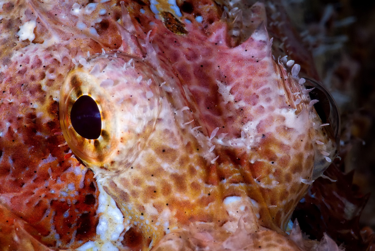 Devil Scorpionfish eyes, The Barge, northern Red Sea, Egypt. 2010