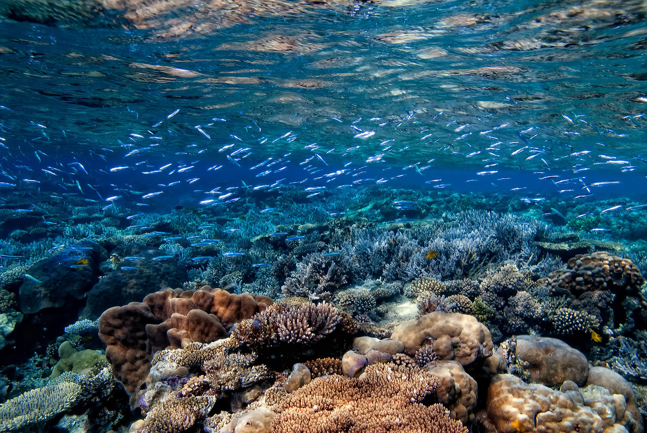 Small fish and coral reef, in the shallows at the Bluff Point, northern Red Sea, Egypt. 2012