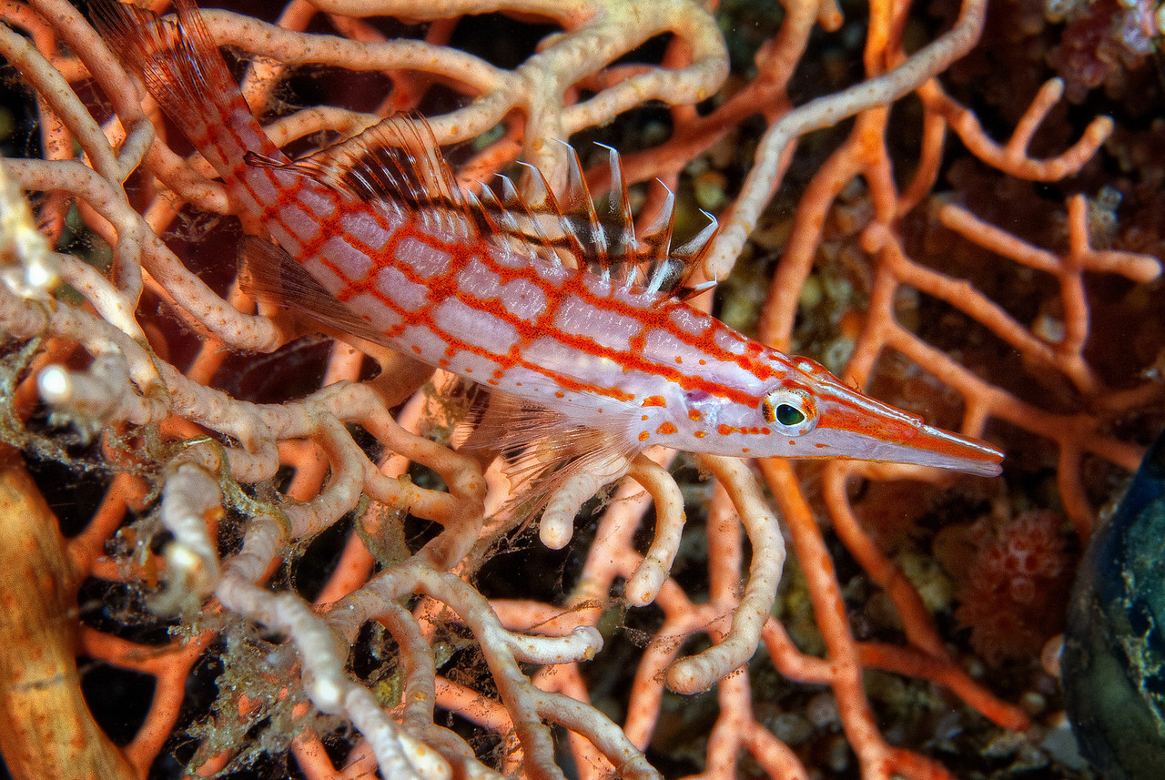 Long nose Hawkfish, Ras Ghozlani, northern Red Sea, Egypt. 2012